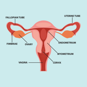 female reproductive system 300x300